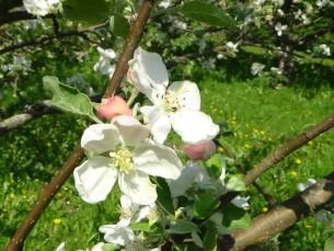 Õunapuuõied