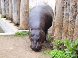Hippo =)
