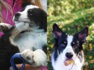 Borderkolli Lassie paarikuuselt ja aastaselt.