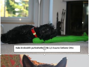 Šoti terjer Otto