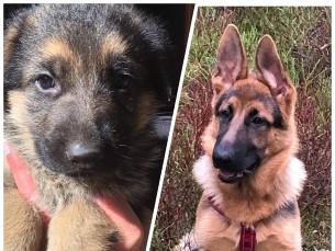 Totaalne muutumine :) 4 kuuga suureks koeraks!