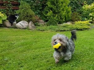 Tupsu mängupall. Teatavasti näevad koerad väga hästi kollast ja sinist värvi. Seepärast tegin meie väikesele sõbrale väikesed mängupallid nendes värvides.